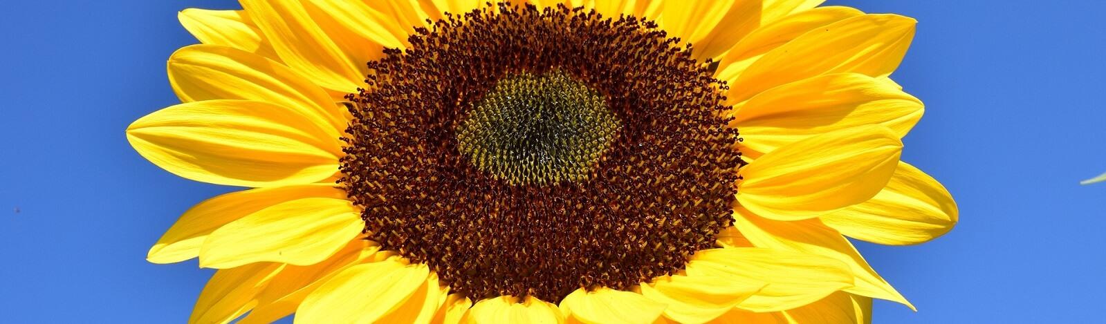 sun-flower-slider